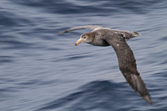 Antarctica giant petrel on the wing. Giant petrel almost as big as a small albatross gliding effortlessly over the ocean of the infamous Drake Passage Stock Photo