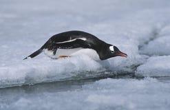Antarctica Greenwich Island sliding Gentoo Penguin (Pygoscelis papua) Stock Photos