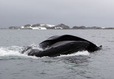 Antarctica humpback whale bubble-feeding on krill Stock Images