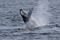 Antarctica humpback whale showing off Stock Images