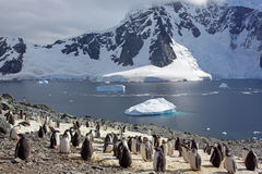 antarctica koloni gentoo pingwin Obraz Royalty Free
