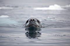 antarctica lamparta foki dopłynięcie Zdjęcie Royalty Free