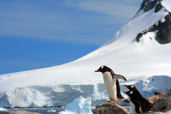 Antarctica landscape with Gentoo penguins ready to Royalty Free Stock Image