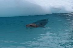 Antarctica, A leopard seal next to an iceberg stock image