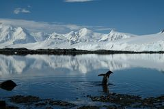 Antarctica penguin ripples in a mirror blue bay beneath white snow capped mountains stock photography