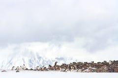 Antarctica penguin rookery Stock Photo