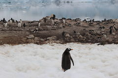 Antarctica - Penguins Royalty Free Stock Photos
