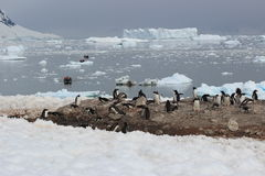 Antarctica - Penguins Royalty Free Stock Photo
