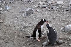 Antarctica, Mama Penguin feeds her chick during molting season stock images