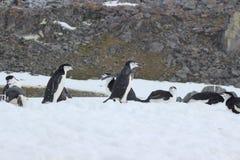 Antarctica - Pinguïnen Stock Fotografie