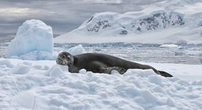 Antarctica Seal Stock Photo