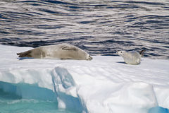 Antarctica - Seals On An Ice Floe Royalty Free Stock Images