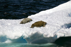 Antarctica - Seals On An Ice Floe Stock Image