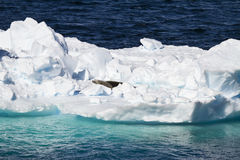 Antarctica - Seals On An Iceberg Stock Photography