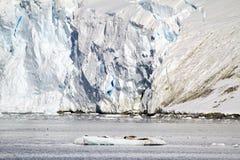 Antarctica - Seals In Natural Habitat Royalty Free Stock Photography