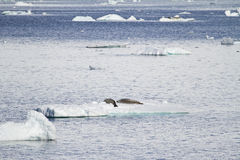 Antarctica Seals In Natural Habitat Stock Photography