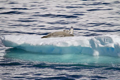 Antarctica - Seals Resting On An Ice Floe Royalty Free Stock Photography