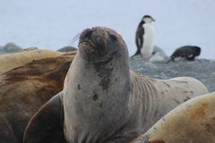 Antarctica - Seals Stock Photos