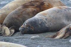 Antarctica - Seals Stock Photography