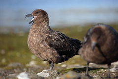 Antarctica skua couple by nest Royalty Free Stock Images
