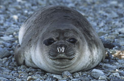 Antarctica South Georgia Island Weddell Seal on pebble beach close up Royalty Free Stock Photo