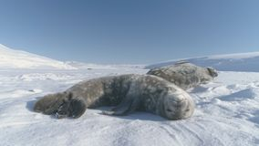 Antarctica weddell seal polar wildlife animal. Pup and Mother Two Wild Arctic Mammal Family Rest on Snow Covered Polar Landscape. South Pole Parent Concept stock video footage