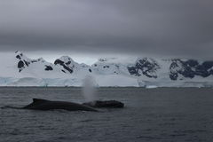 Antarctica - Whales Stock Images