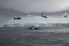 Antarctica - wieloryby Obrazy Stock