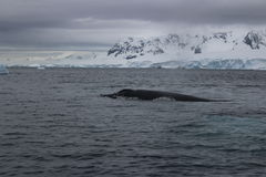 Antarctica - wieloryby Obraz Royalty Free