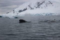 Antarctica - wieloryby Zdjęcia Stock
