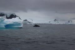 Antarctica - wieloryby Fotografia Stock