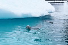 Antarctica, A young crab eater seal swimming right in front of an iceberg stock photography