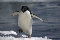 antarcticpingvin s Arkivbild
