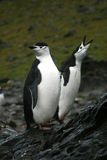 antarcticpingvin två Arkivbild