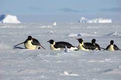 antarcticpingvinprocession Arkivfoton