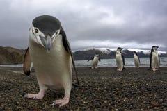 Antarctiic pingvin Arkivbild