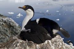 Antarctische blauw-eyed aalscholver die de koppeling op uitbroedt Royalty-vrije Stock Afbeeldingen