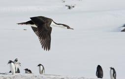 Antarctische blauw-eyed aalscholver die over de pinguïnen vliegen. Royalty-vrije Stock Foto's