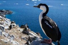 Antarctische blauw-eyed aalscholverzitting op een rots op een achtergrond Royalty-vrije Stock Afbeeldingen