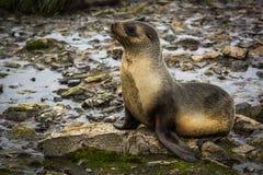 Antarctische bontverbinding die op mos-behandelde rotsen liggen stock foto's