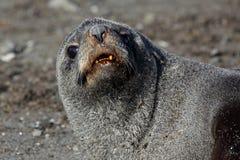 Antarctische bontverbinding die op strand, Antarctica rust stock afbeeldingen