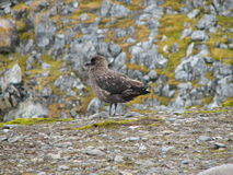 Antarctische Jager Stock Foto