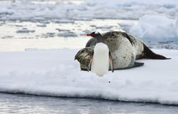 Antarctische Luipaardverbinding & Gentoo-Pinguïn Stock Foto
