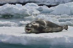 Antarctische Luipaardverbinding & Gentoo-Pinguïn Stock Fotografie