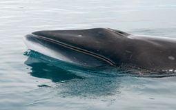 Antarctische Minke walvis die, Antarctisch Schiereiland opduiken royalty-vrije stock foto's