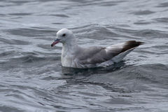 Antarctische noordse stormvogels dat op de oppervlakte van de oceaan in Antar zit Royalty-vrije Stock Foto