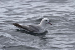 Antarctische noordse stormvogels die op water1 zitten Stock Fotografie