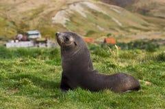 Antarctische Pelsrob, Antarctic Fur Seal, Arctocephalus gazella stock photography