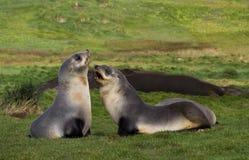 Antarctische Pelsrob, Antarctic Fur Seal, Arctocephalus gazella stock photo