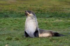 Antarctische Pelsrob, Antarctic Fur Seal, Arctocephalus gazella royalty free stock images